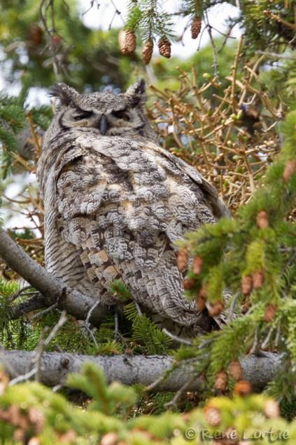 Grand-duc d'Amérique - Great Horned Owl