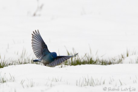 Merlebleu azuré - Mountain Bluebird
