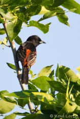 Oriole des vergers - Orchard Oriole