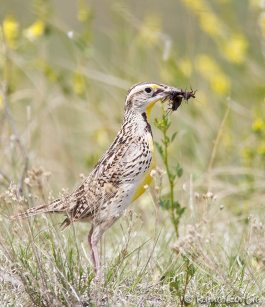 Sturnelle de l'ouest - Western Meadowlark