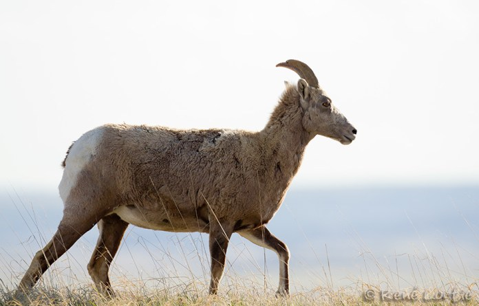 Mouflon du Canada - Big horn Sheep