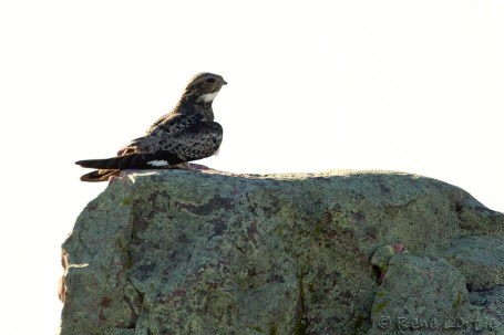 Engoulevent d'Amérique - Common Nighthawk (Blue Mounds State Park, Minnesota)