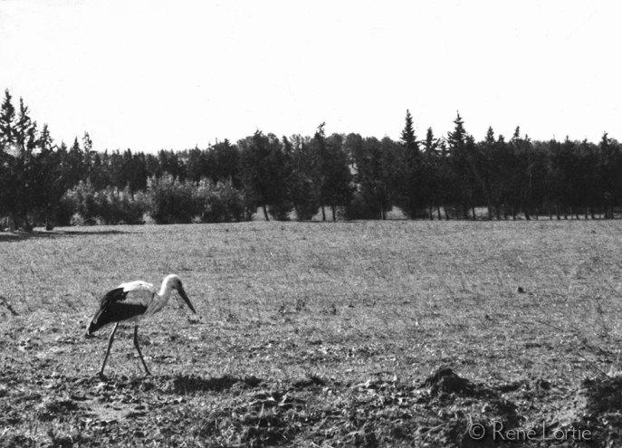 Une de mes premières photos d'oiseau à vie. La cigogne blanche niche en Europe et hiverne en Afrique (centre et sud)