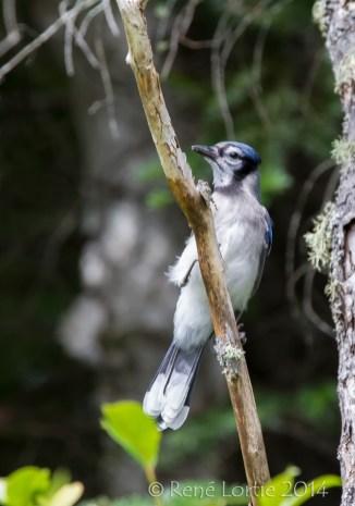 Geai bleu au lac Papineau
