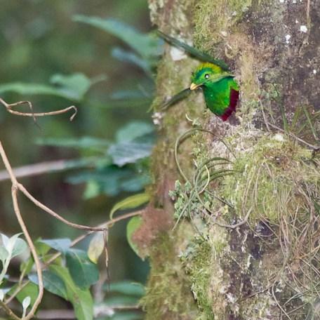 Quetzal replendissant - mâle au nid