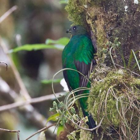 Quetzal replendissant-Femelle au nid