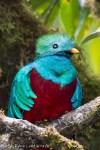 Quetzal replendissant à San Gerardo de Dota