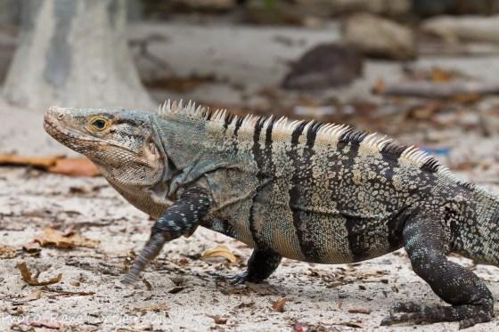 Ctenosaura