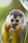Squirrel Monkey - Manuel Antonio