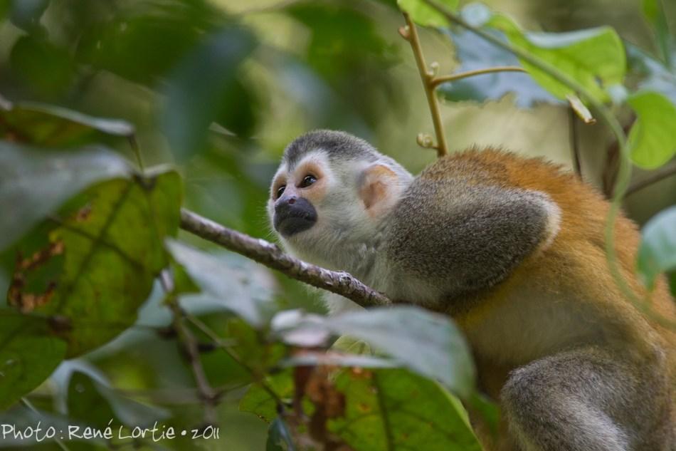 Singe écureuil au parc Manuel Antonio