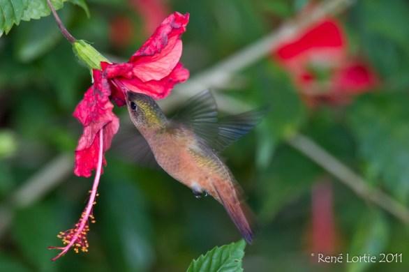 Ariane cannelle / Cinnamon Hummingbird / Amazilia Rutila