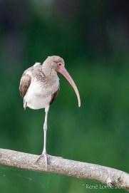 Ibis blanc, Tarcoles