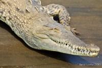 Alligator, rivière Tarcoles