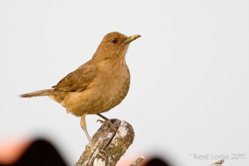 Merle fauve - Clay-colored Robin - Turdus grayi