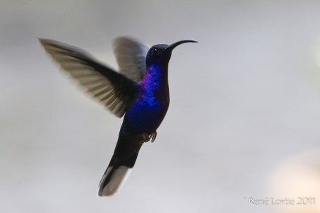 Violet Sabrewing, Ala de sable violáceo