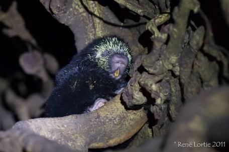 Mexican Hairy Porcupine