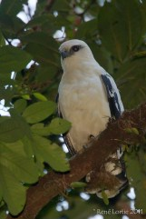 Leucopternis albicollis