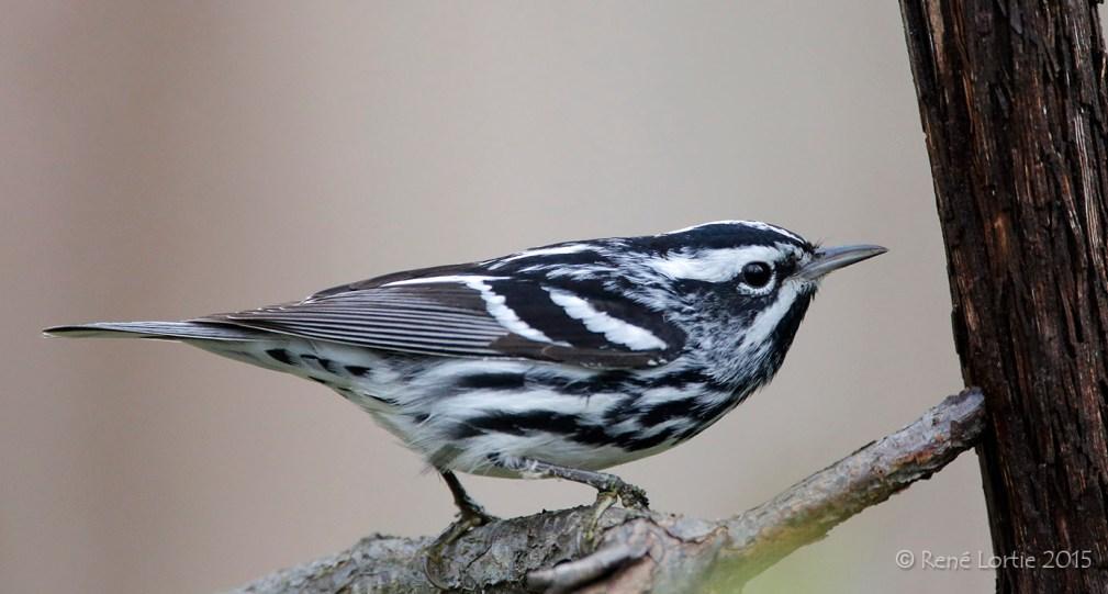 Paruline noir et blanc / Black-and-white Warbler / Mniotilta varia