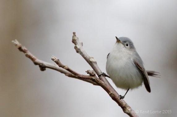 Gobemoucheron gris-bleu / Blue-gray Gnatcatcher / Polioptila caerulea