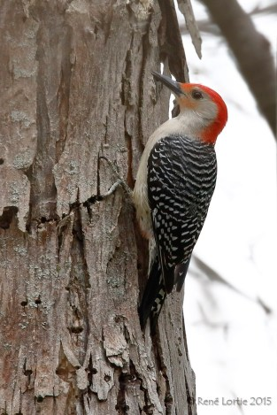 Pic à ventre roux / Yeloow-bellied Woodpecker / Melanerpes carolinus