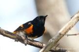 Paruline flamboyante / American Redstart / Setophaga ruticilla
