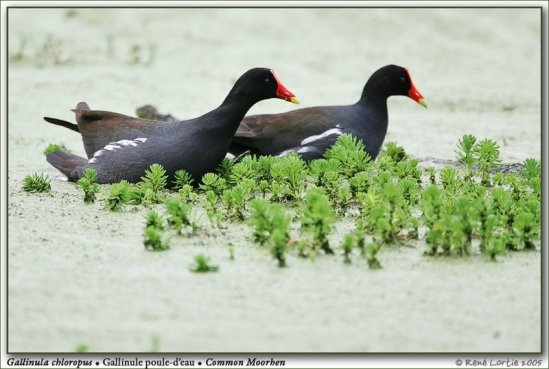 Gallinula chloropus / Common Moorhen