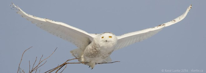 Harfang des neiges à Mirabel / Snowy Owl, Mirabel, QC