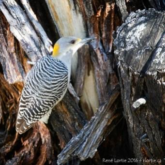 Pic à front doré (femelle) - On le trouve à l'année du centre du Texas au Mexique.