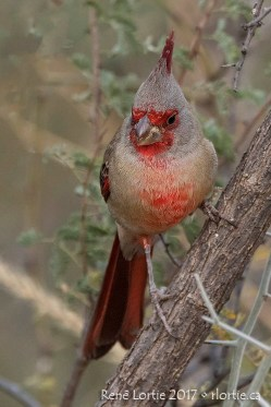 Cardinal pyrrhuloxia - Patagonia Lake SP