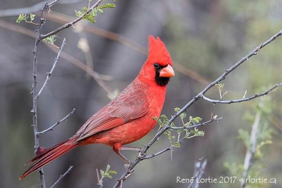 Cardinal rouge - Patagonia Lake SP