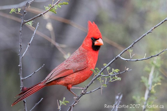 Cardinal rouge - Patagonia Lake SP