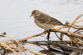 Grive solitaire sur un étang de Whitewater Draw