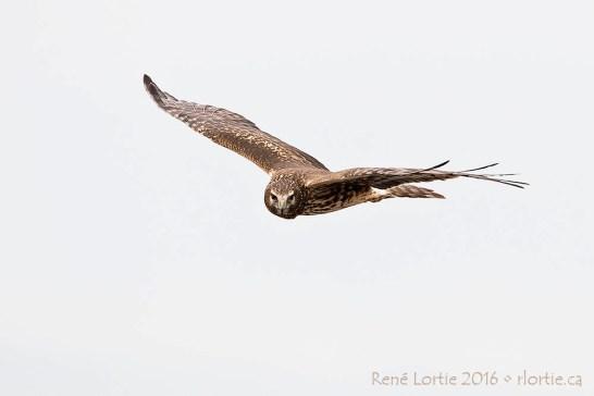 Busard Saint-Martin en vol au-dessus des champs de Whitewater Draw