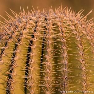 saguaro head