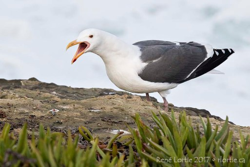 Goéland / Seagull, La Jolla