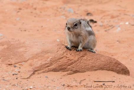 Petit rongeur genre tamia du désert