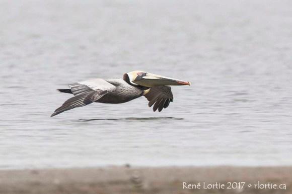 Pélican brun / Brown Pelican