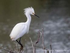 Aigrette neigeuse / Snowy Egret