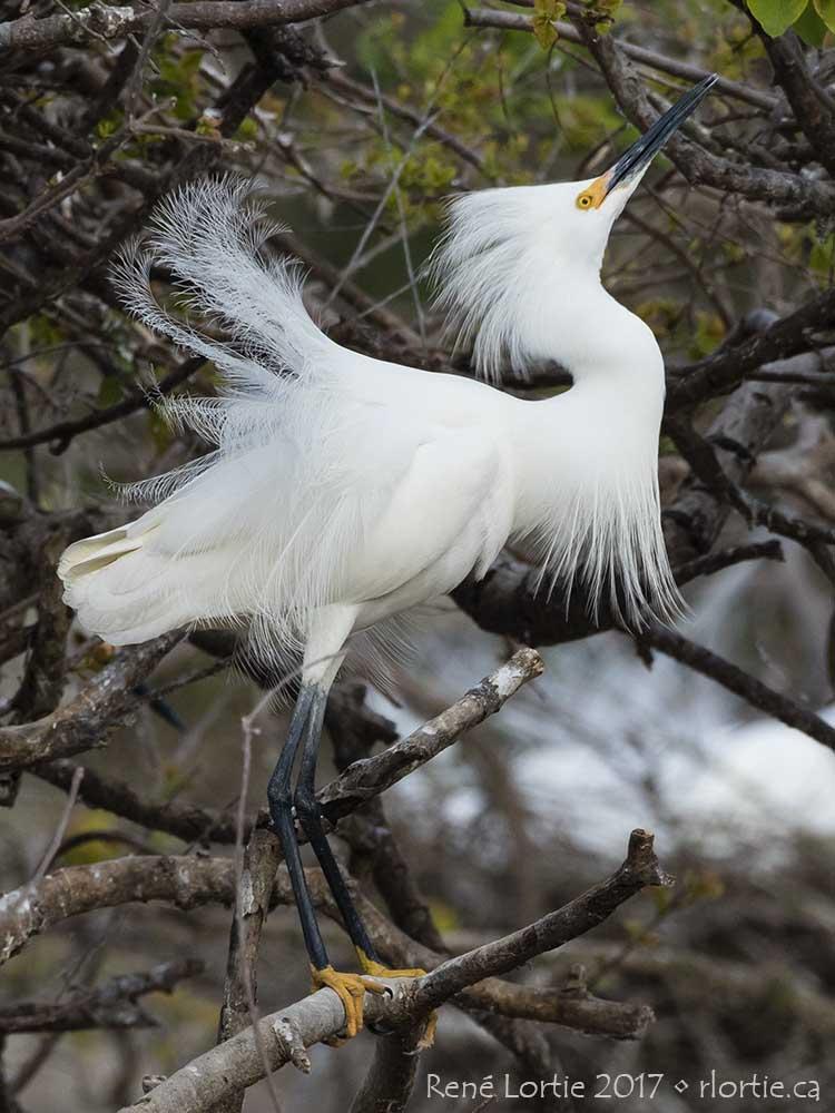 Aigrette neigeuse / Snowy Egret • High Island
