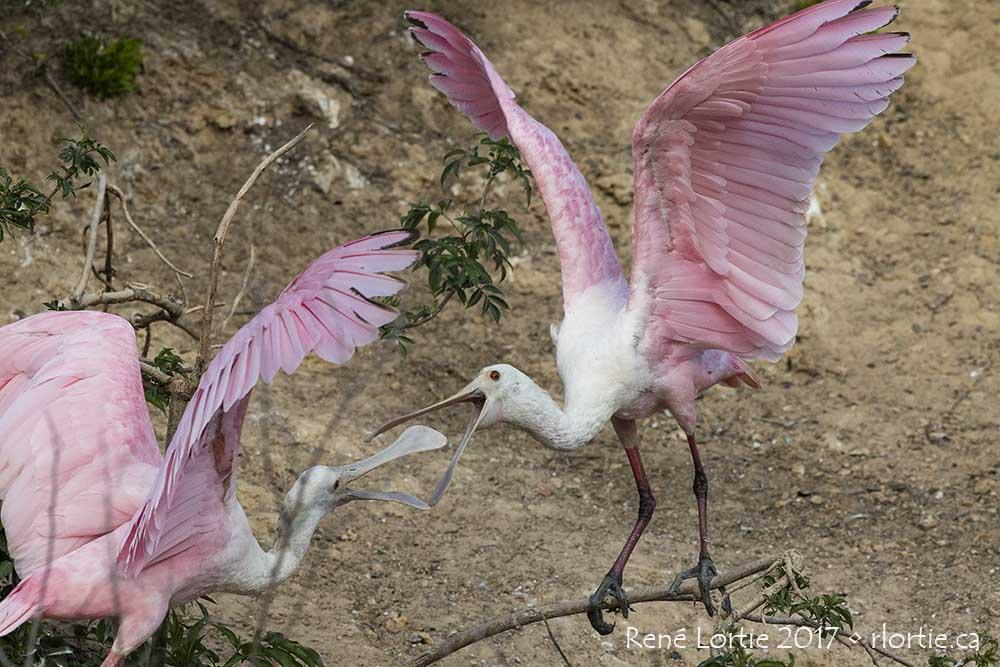 Spatules rosées / Roseate Spoonbills