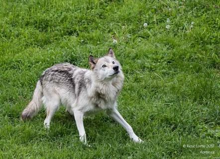 Loup gris (BioParc de Bonaventure)