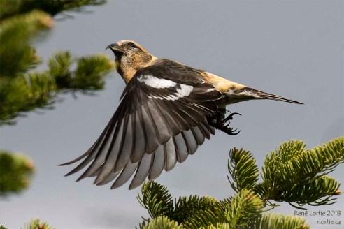 Bec-croisé bifascié mâle, Fundy