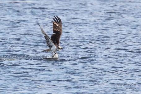 Balbuzard pêcheur / Osprey - Soulève sa prise