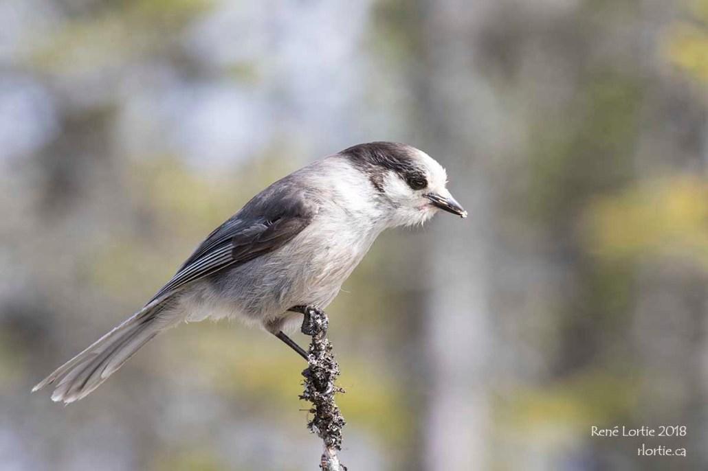 Mésangeai du Canada / Gray Jay
