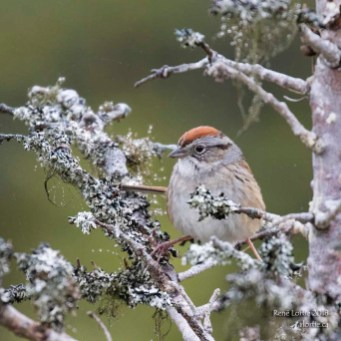 Bruant familier / Chipping Sparrow