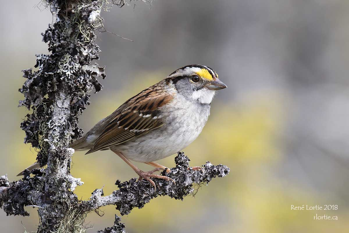 Bruant à gorge blanche / White-throated Sparrow