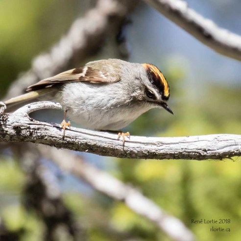 Roitelet à couronne dorée / Golden-crowned Kinglet