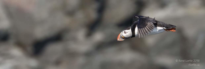 Macareux moine / Atlantic Puffin (Terre-Neuve)