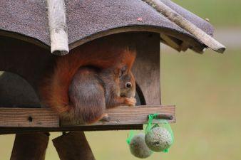 Heimisches Eichhörnchen im Vogelhäuschen