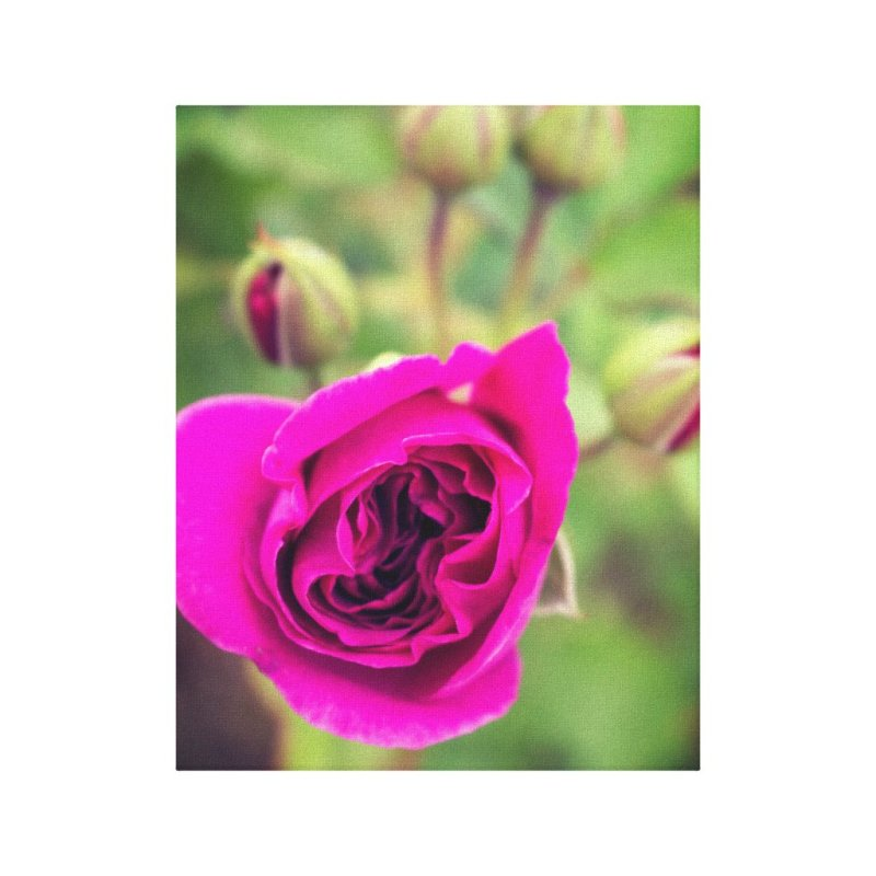Magenta-colored rose canvas print